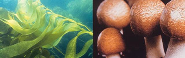 高分子CUA褐藻糖膠滿點吐息